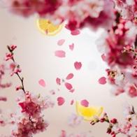Kwiat wiśni - wkład do lampy zapachowej 500 ml - Maison Berger